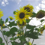 Picture of a Sunflower